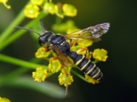 Аллергические реакции на яд перепончатокрылых насекомых